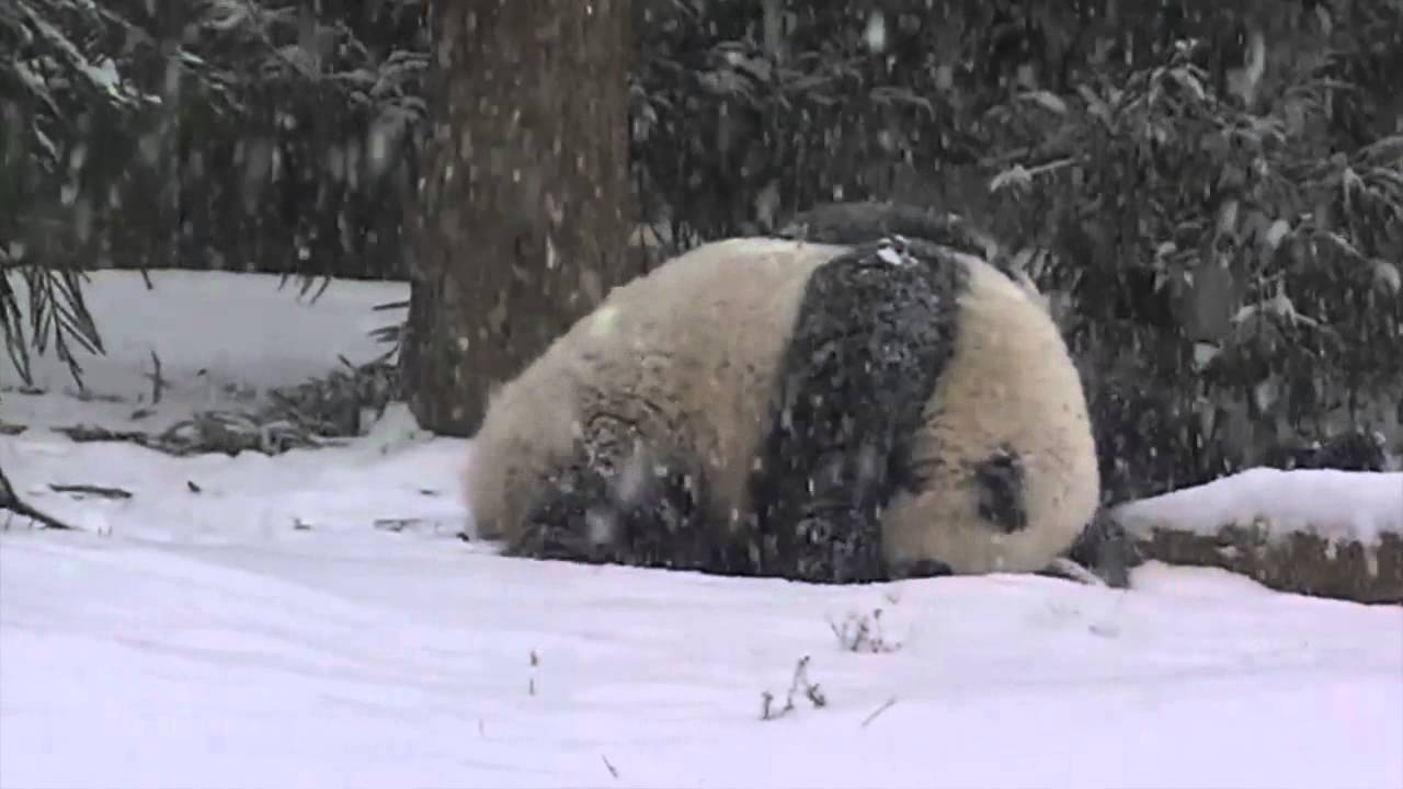 Adorable! Bao Bao the panda is playing in snow for the first time