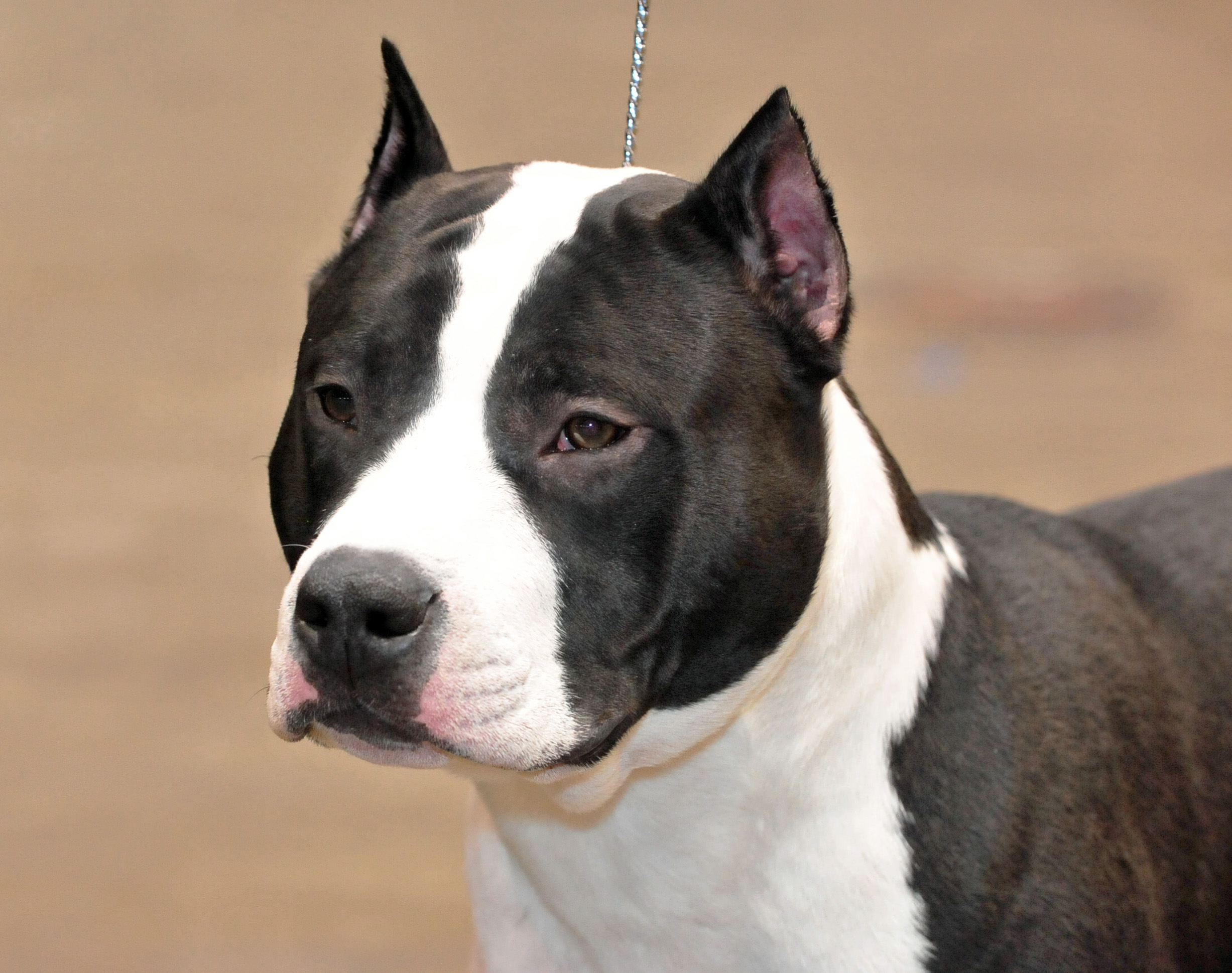 01_American_Staffordshire_terrier
