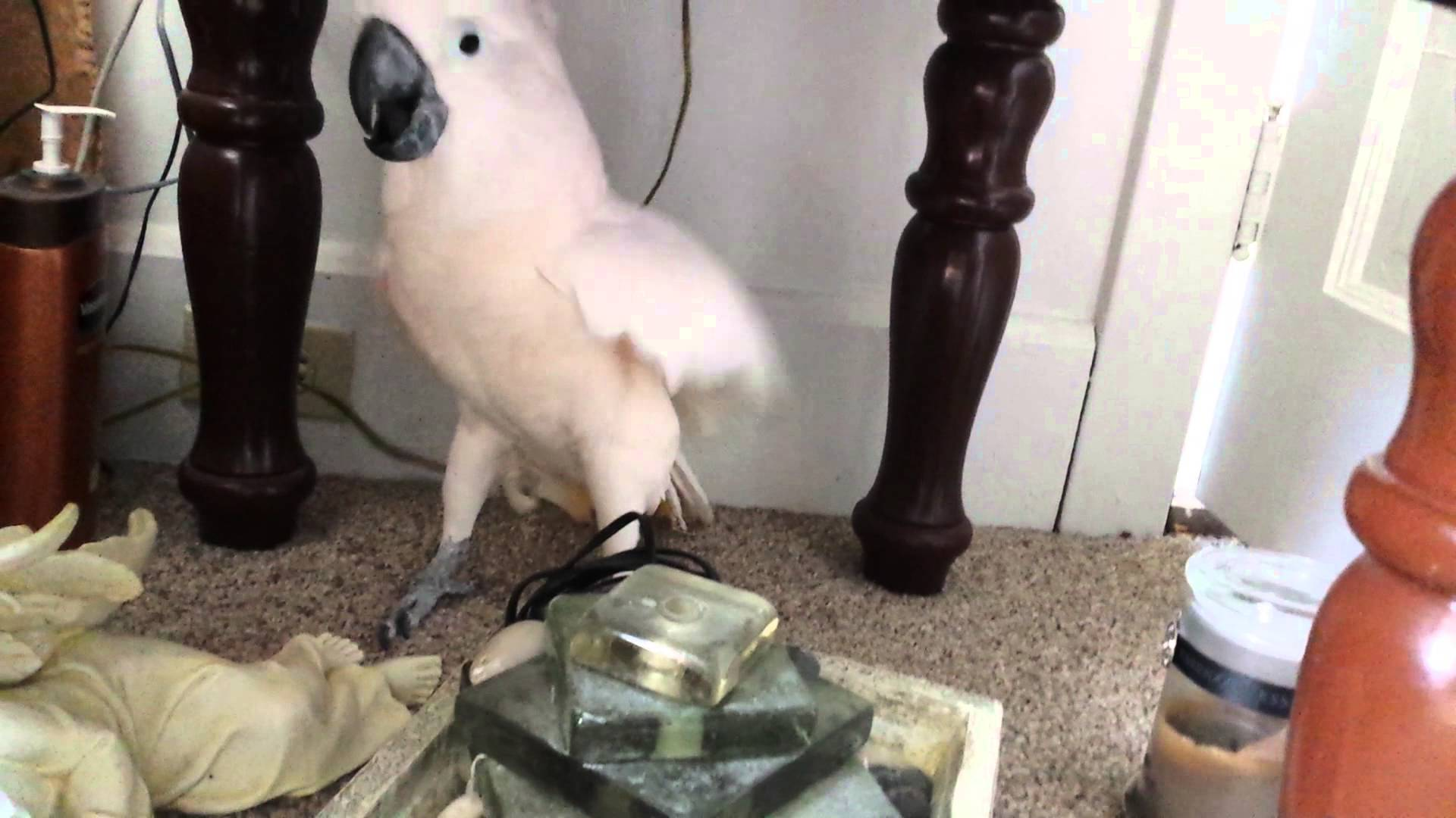 A parrot was informed he is going to the vet, his reaction was hilarious!