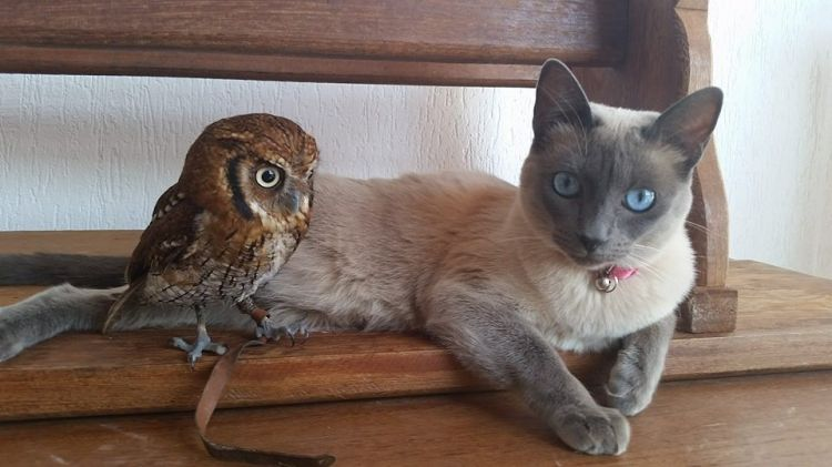 cute-Siamese-cat-owl