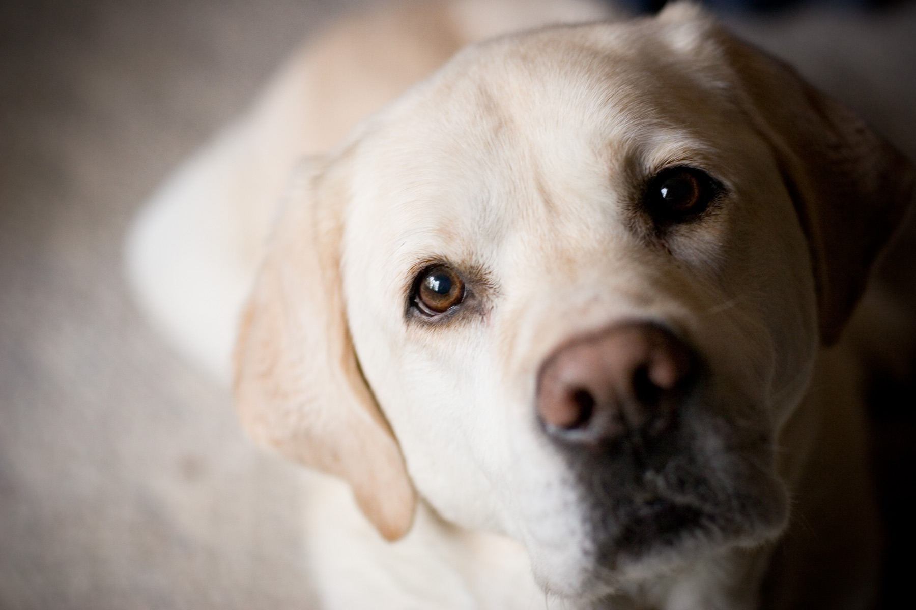 Labrador-Retriever-HD-Wallpapers-1