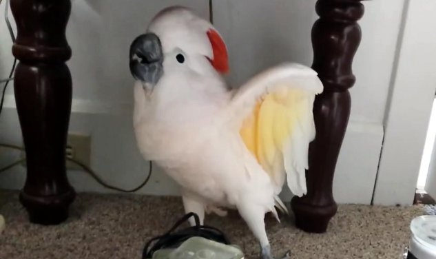Max-the-Cockatoo-finds-out-he-is-going-to-the-vet