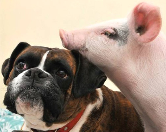 Piggy-and-Puggy