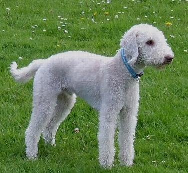 Bedlington Terrier Rescue Dogs