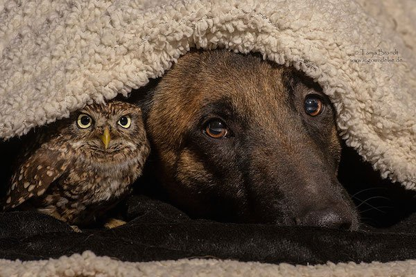 dog-owl-friendship-tanja-brandt-11
