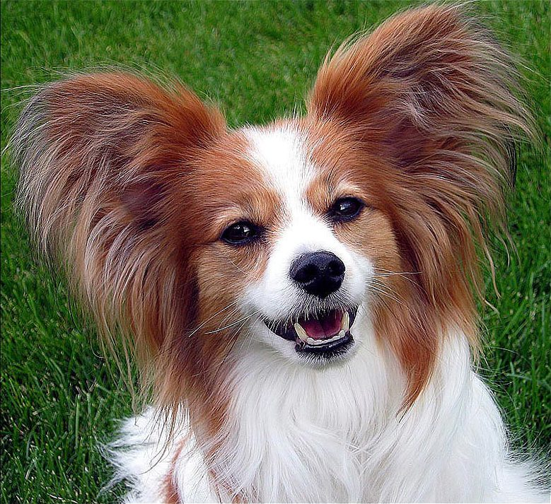 5 best small dogs that are known to be good indoor pets - Petshop papillon ...
