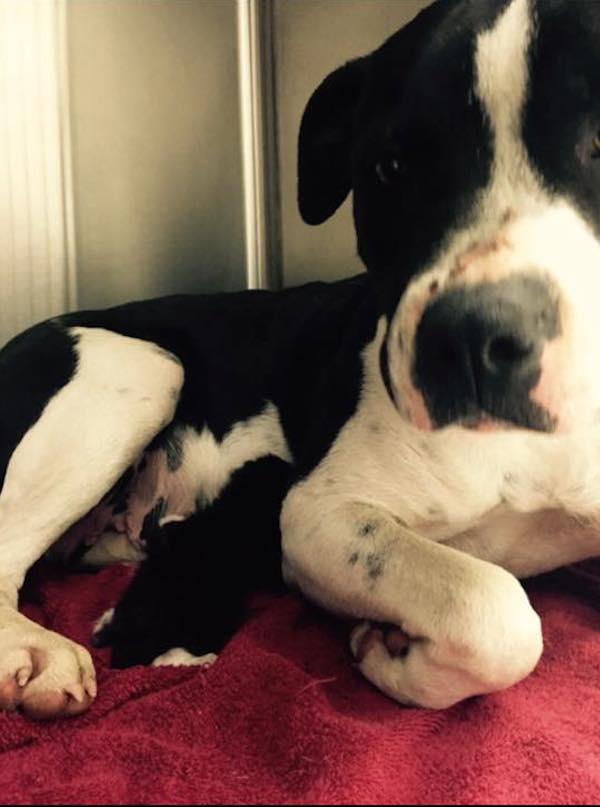 pitbull-and-kitten-rescued-3