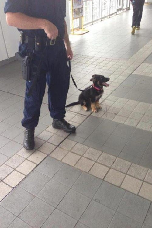 police-dog-in-training
