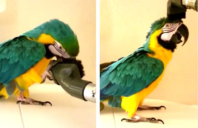 Blue-Gold-Macaw-Loves-To-Be-Vacuumed