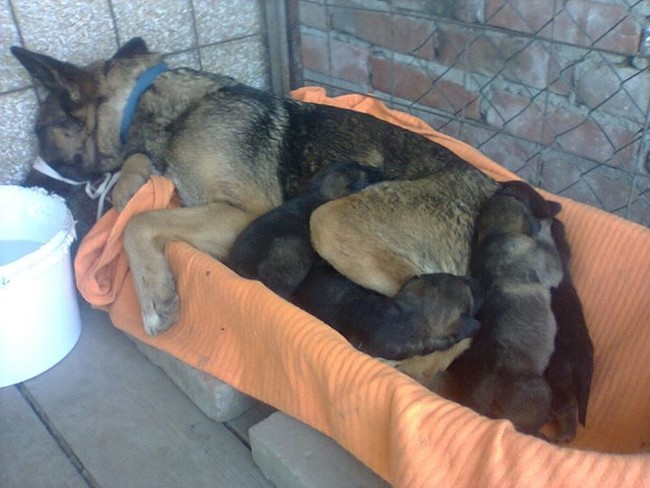 This German Shepherd puppies and their mother