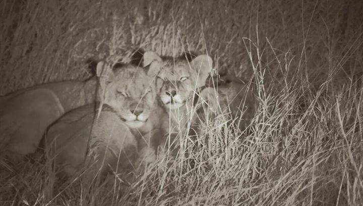 Cecils Cubs Live With Their Fathers Spirit They Face The Night Bravely Together