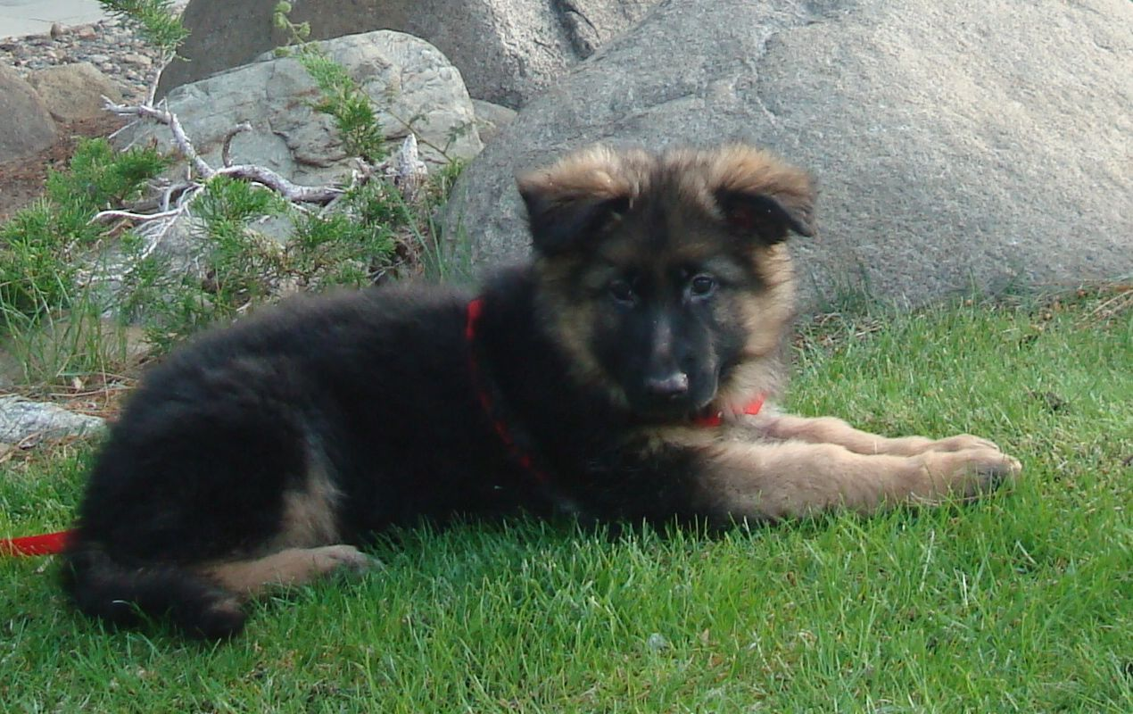 11 facts about german shepherd dogs that prove they are the best german shepherd facts puppy nvjuhfo Choice Image