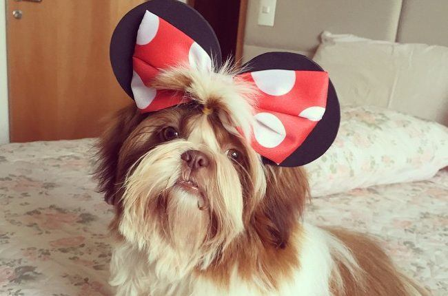 Shih-Tzu-with-hair-bow