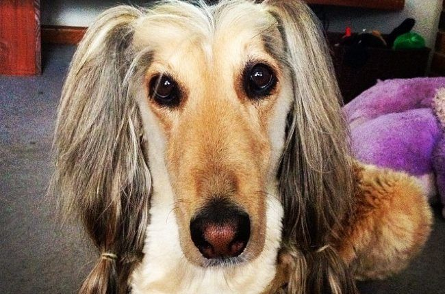 afghan-hound-least-obedient-dog-breeds