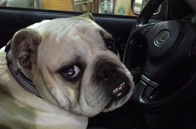 bulldog-driving