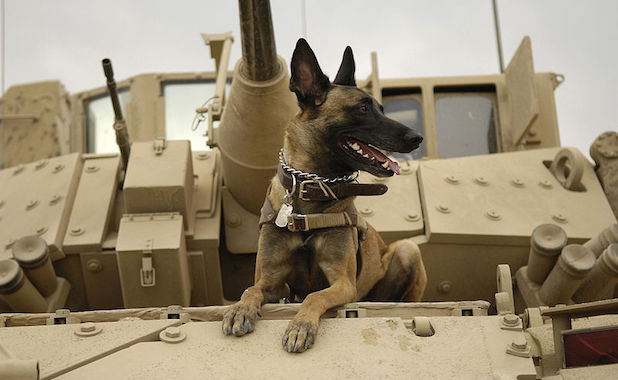 Belgian-Shepherd-Malinois-Military-Working-Dog-618x380