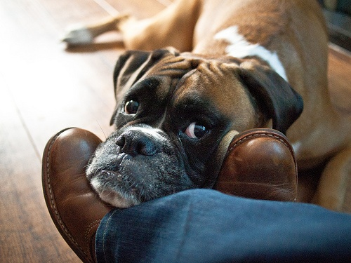 boxer-dog-love