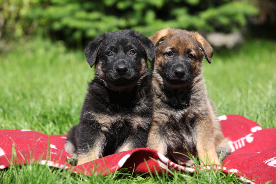 Two german shepherd puppies sitting side by side on red blanket