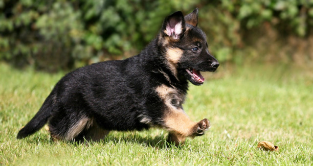 cute-german-shepherd-puppies-640x339