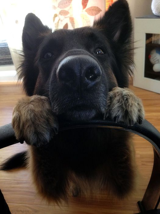german-shepherd-face
