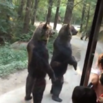 Tourists shocked by 2 giant bears trotting towards them, but look closely at them when the bus pulls away…