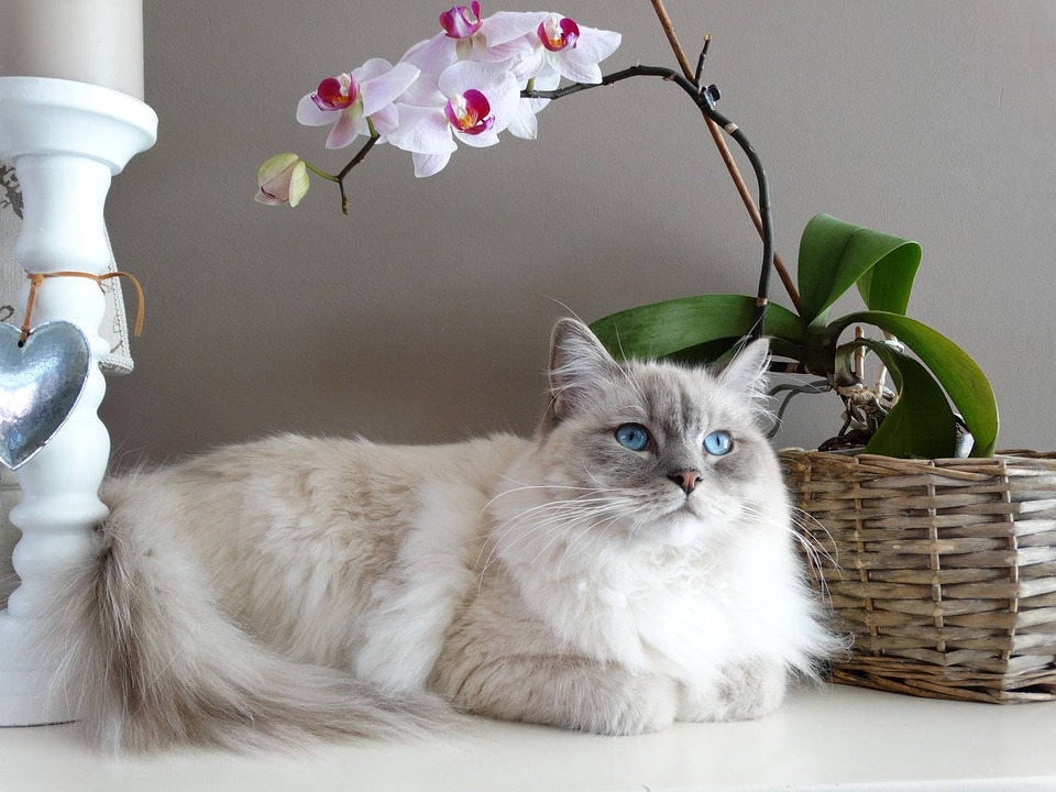 Large cat breeds Ragdoll cat