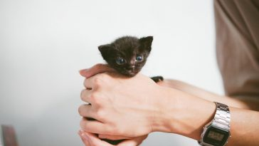 Teacup cat breeds small black cat