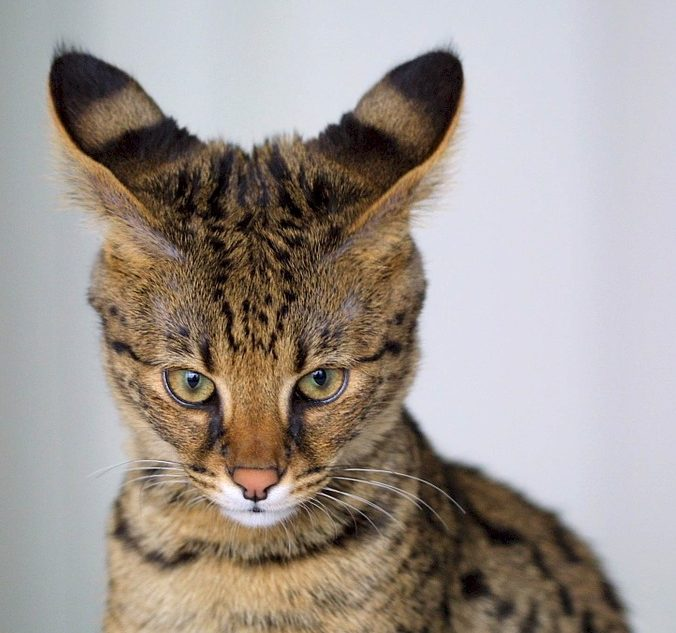 Savannah cat breeds featured picture
