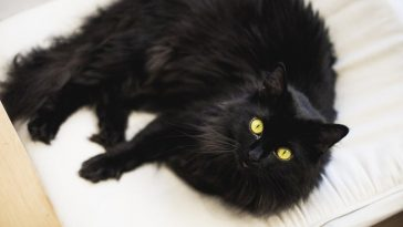 black cat breeds featued image