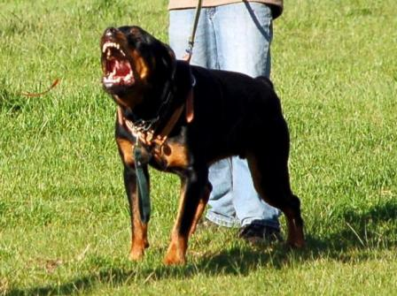 how to train a dog to attack