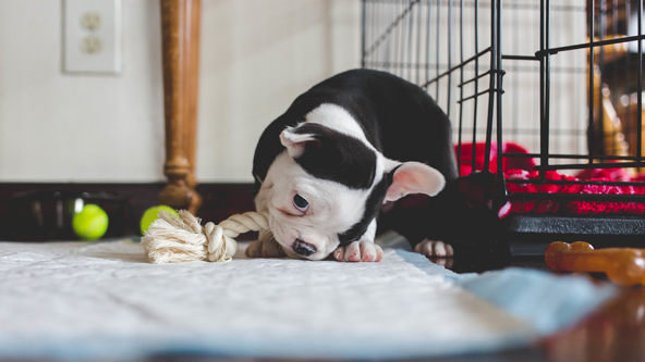 puppy playing with a rope. puppy potty training tips